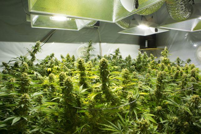 Essiccazione della cannabis